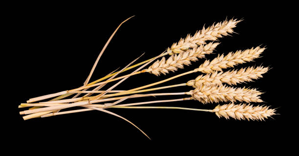 Beautiful bouquet of dry wheat ears. Triticum aestivum. Isolated on black background stock photo