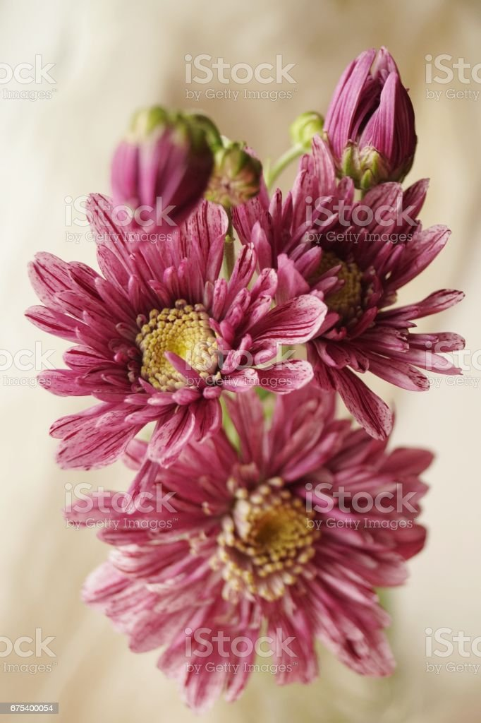 Beautiful bouquet of pink chrysanthemums photo libre de droits