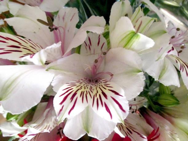 schöner blumenstrauß - liliana stock-fotos und bilder