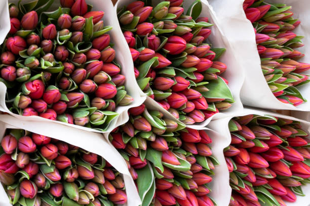 Beautiful bouquets of red tulips. stock photo