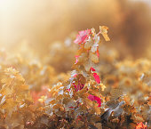 Image with autumnal vine branch at sunrise.