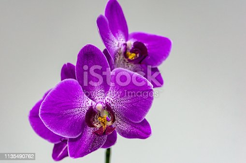 Beautiful branch of bright purple Phalaenopsis orchid flower, known as the Moth Orchid or Phal, on light gray background in left. Selective focus on foreground, place for your text in right