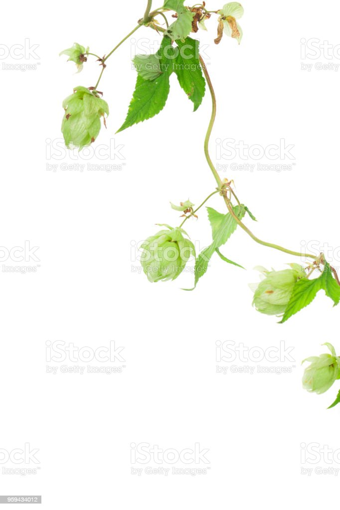 Beautiful branch of hops. stock photo