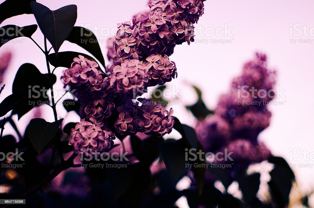 Beautiful branch of lilac bushes growing in the spring royalty-free stock photo