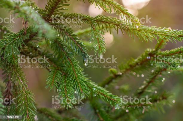 Photo of Beautiful branch of spruce with dew.
