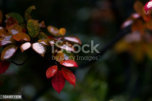 1088451256 istock photo Beautiful branch with colorful leaves in late fall or early winter under the snow. 1044511326