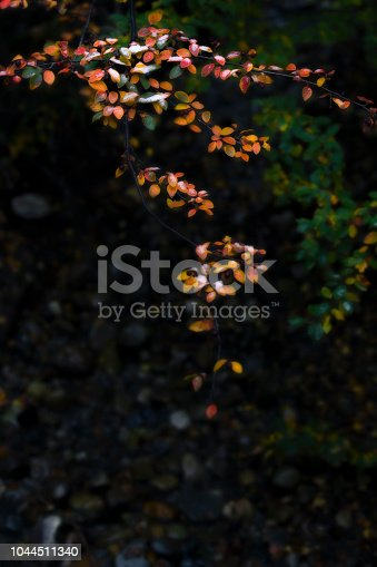 1088451256 istock photo Beautiful branch with colorful leaves in late fall or early winter under the snow. 1044511340