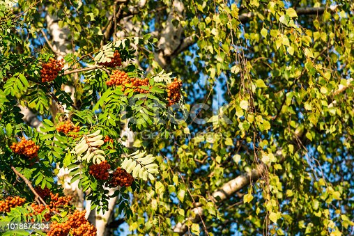istock Beautiful branch with ripe rowan berries in front of birch twigs 1018674304