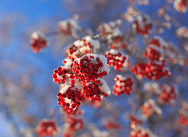 Beautiful branches of mountain ash covered with snow. stock photo