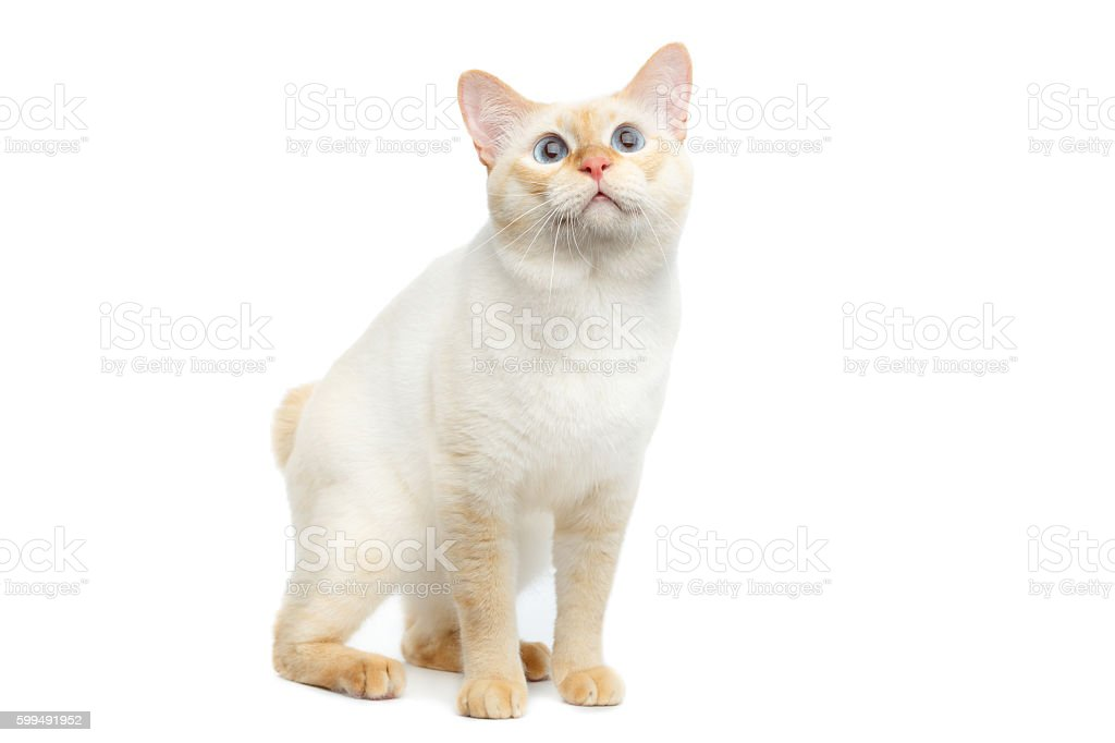 Beautiful breed Mekong Bobtail Cat Isolated White Background - foto de acervo