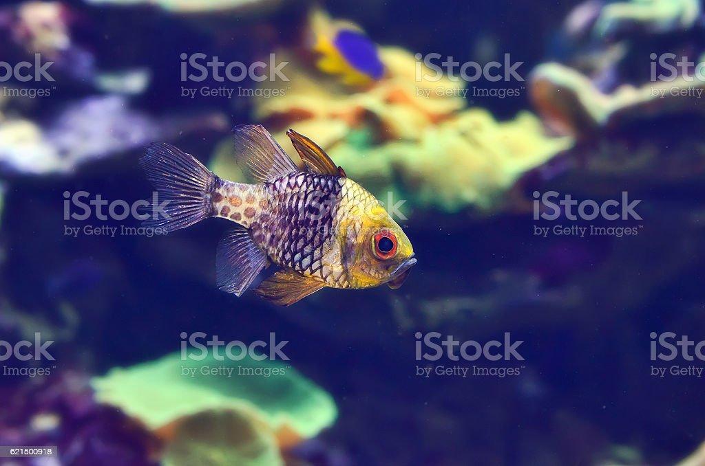 Beautiful bright aquarium fish. photo libre de droits