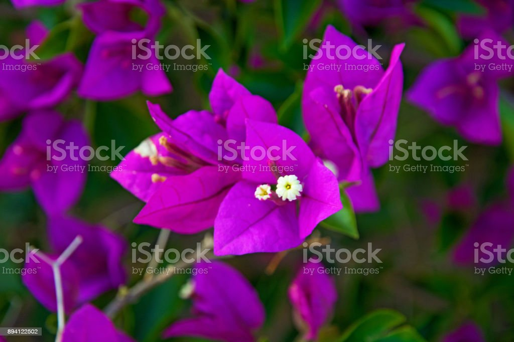 beautiful, bright flowers grow in the tropics in Sanya. growing up straight on the street. China stock photo