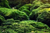 istock Beautiful Bright Green moss grown up cover the rough stones and on the floor in the forest. Show with macro view. Rocks full of the moss texture in nature for wallpaper. 1137735594