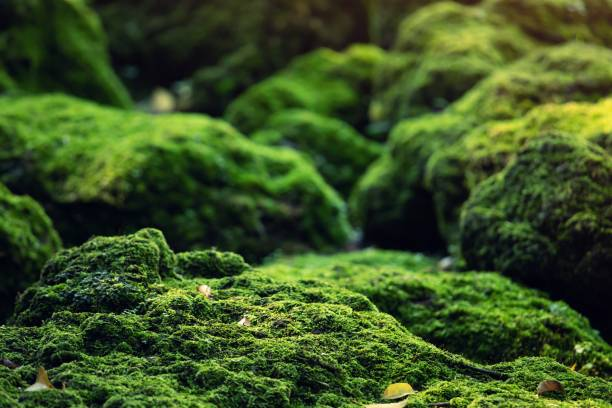 Beautiful Bright Green moss grown up cover the rough stones and on the floor in the forest. Show with macro view. Rocks full of the moss texture in nature for wallpaper. Beautiful Bright Green moss grown up cover the rough stones and on the floor in the forest. Show with macro view. Rocks full of the moss texture in nature for wallpaper. moss stock pictures, royalty-free photos & images
