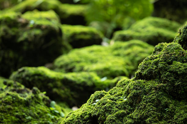Beautiful Bright Green moss grown up cover the rough stones and on the floor in the forest. Show with macro view. Rocks full of the moss texture in nature for wallpaper. soft focus. Beautiful Bright Green moss grown up cover the rough stones and on the floor in the forest. Show with macro view. Rocks full of the moss texture in nature for wallpaper. soft focus. moss stock pictures, royalty-free photos & images