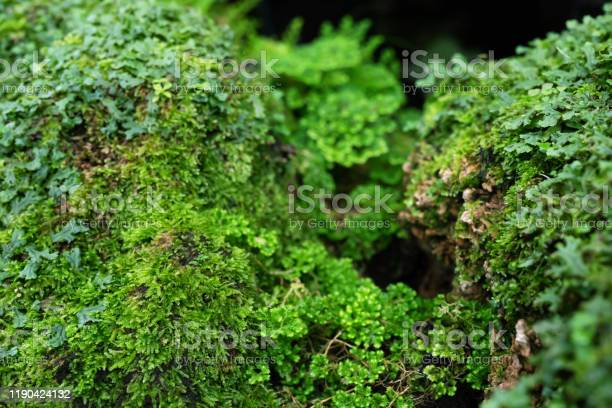 Photo of Beautiful Bright Green moss grown up cover the rough stones and on the floor in the forest. Show with macro view. Rocks full of the moss texture in nature for wallpaper.