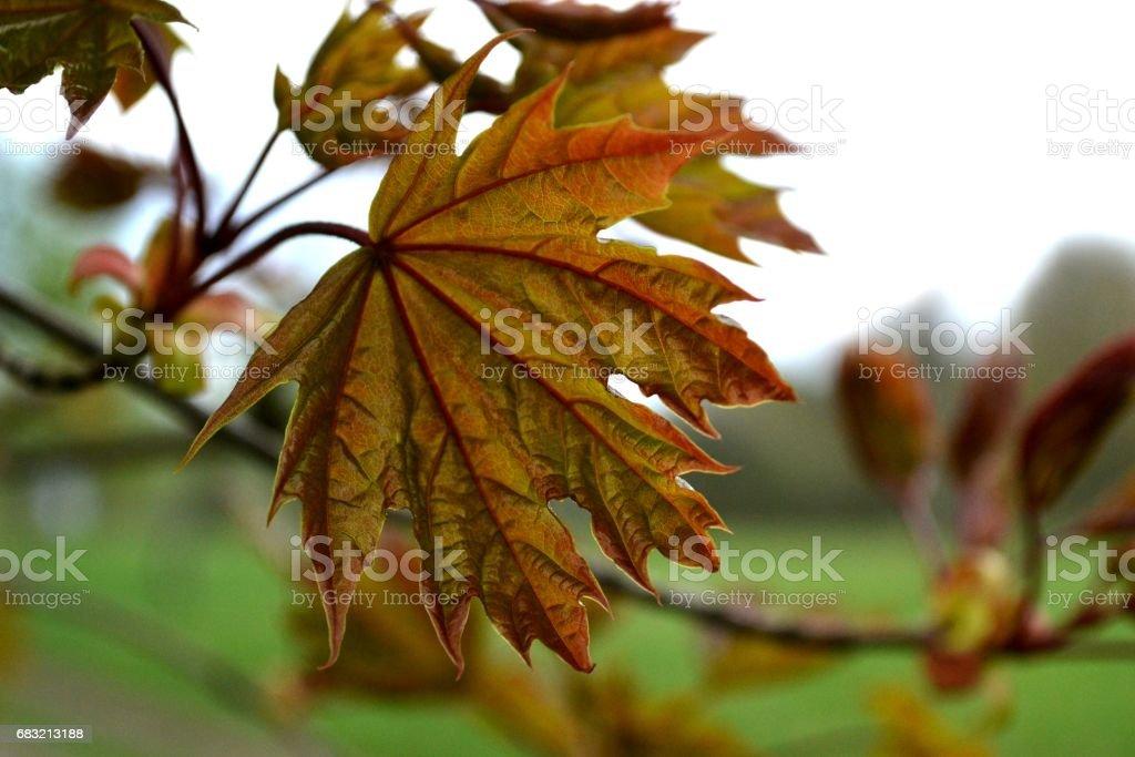 美麗亮片公園背景上的加拿大楓葉 免版稅 stock photo