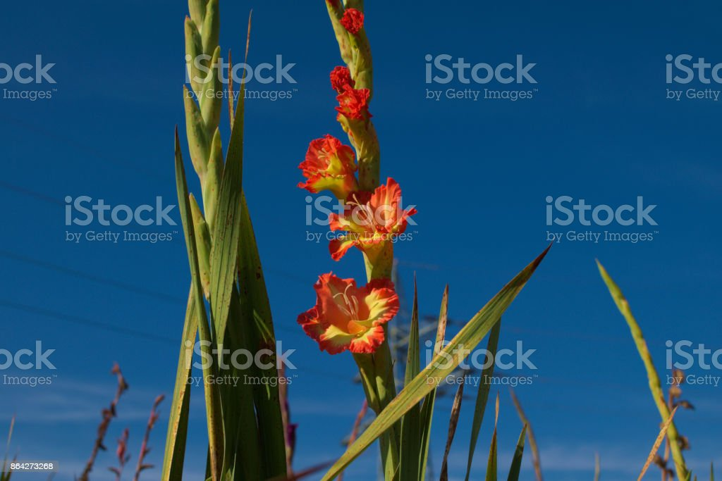 beautiful bright orange and yellow gladiolus royalty-free stock photo