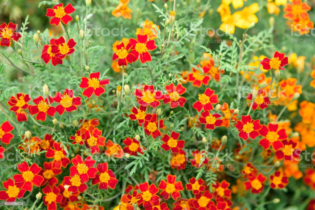 Beautiful bright orange flowers on a flower bed stock photo