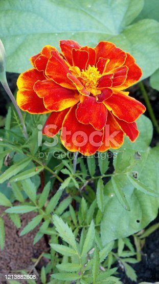 Macro photo of the nature of the flower Tagetes patula Texture background plant fiery red Tagetes flower. Image plant orange Marigold Tagetes patula flower