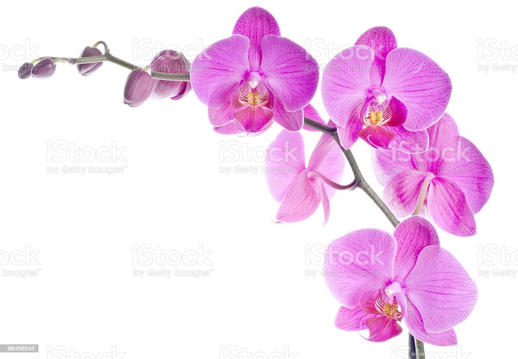 Beautiful, bright pink Japanese orchids on a branch royalty-free stock photo