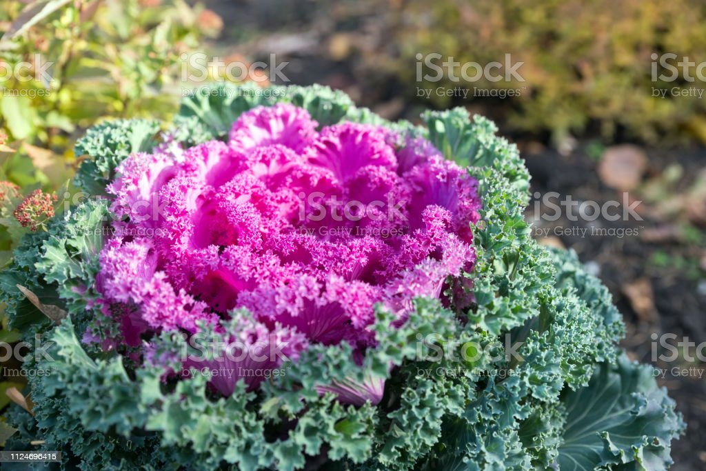 Beautiful bright pink ornamental cabbage grows in the garden in late autumn. Hybrid variety 'Nagoya Red F1'.