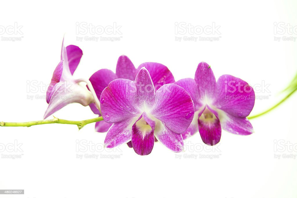 beautiful bright pink purple dendrobium orchid flower branch iso stock photo