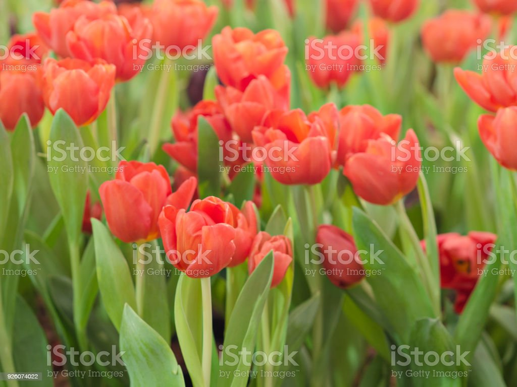 Beautiful Bright Red Color Tulips Flower In Tulips Fields At Morning