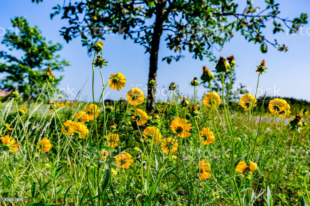 Beautiful Bright Yellow Lanceleaf Coresopsis Wildflowers in a Field. stock photo
