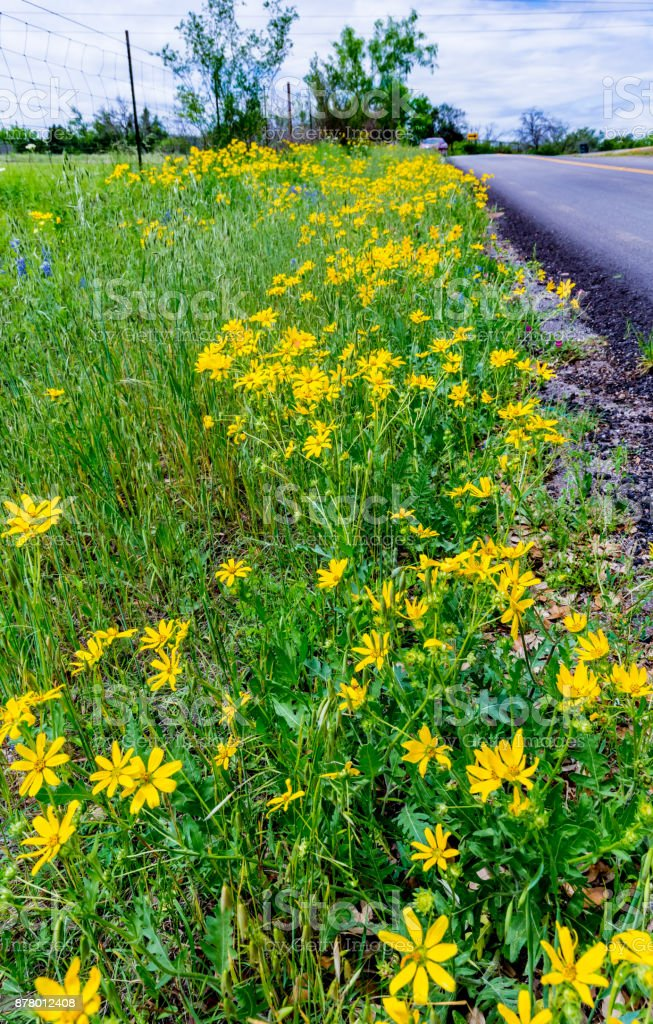 Beautiful Bright Yellow Lanceleaf Coresopsis Wildflowers on the Side of the Road stock photo