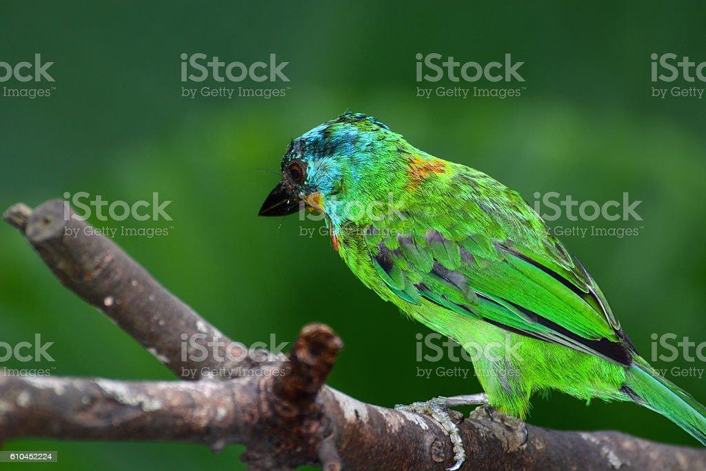 Beautiful brilliant plumage of a Taiwan barbet, or Psilopogon nuchalis stock photo