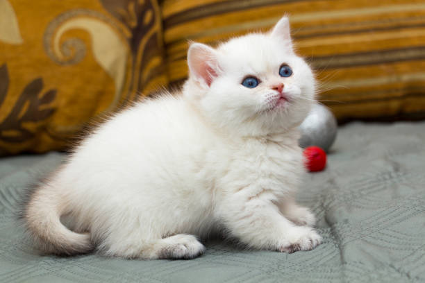 Cтоковое фото Beautiful British kitten black golden shaded pointed color stands on the couch