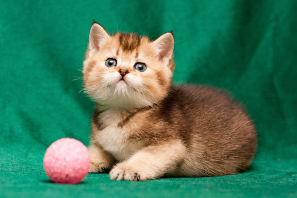 Beautiful British kitten black ticked color lies in front of the camera stock photo