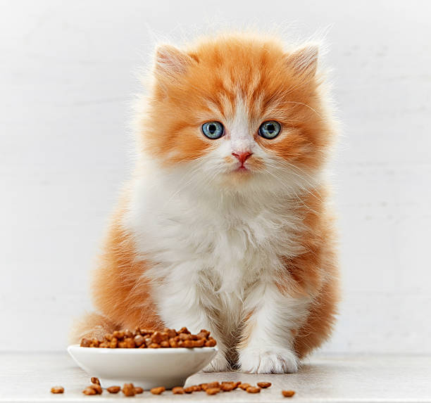 Beautiful british long hair kitten and cat food bowl picture id526547694?b=1&k=6&m=526547694&s=612x612&w=0&h=wfoxkv 7z lhstqlla8frbzvosijogeeybivachjk4e=