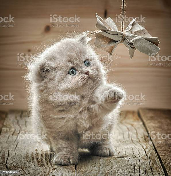 Beautiful british long hair kitten picture id526548460?b=1&k=6&m=526548460&s=612x612&h=gcozatu1khbnq8u275mmvuihjnzebtxk4l rnnr2mjc=