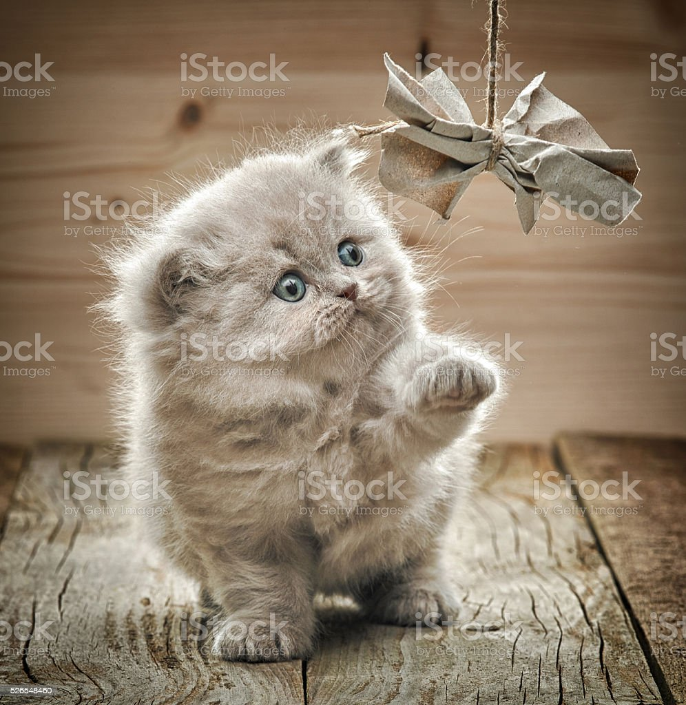 beautiful british long hair kitten stock photo