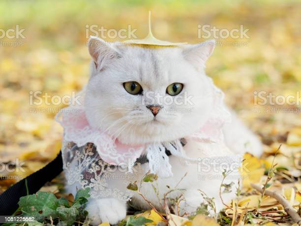 Beautiful british shorthair cat with lace necklet lying on autumn picture id1081225582?b=1&k=6&m=1081225582&s=612x612&h=gwzmnv7qdusuqz4qp87cnror7p9tebs4g7yelqrtm3g=