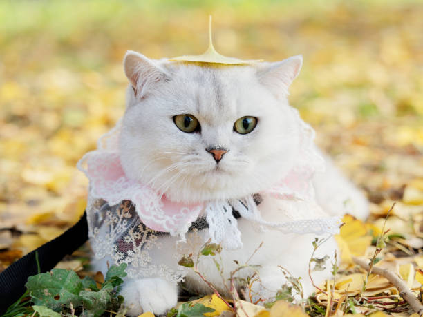Beautiful british shorthair cat with lace necklet lying on autumn picture id1081225582?b=1&k=6&m=1081225582&s=612x612&w=0&h=gycxivb flvnbay nfikvtakdth2jarotskvgaiwbhe=