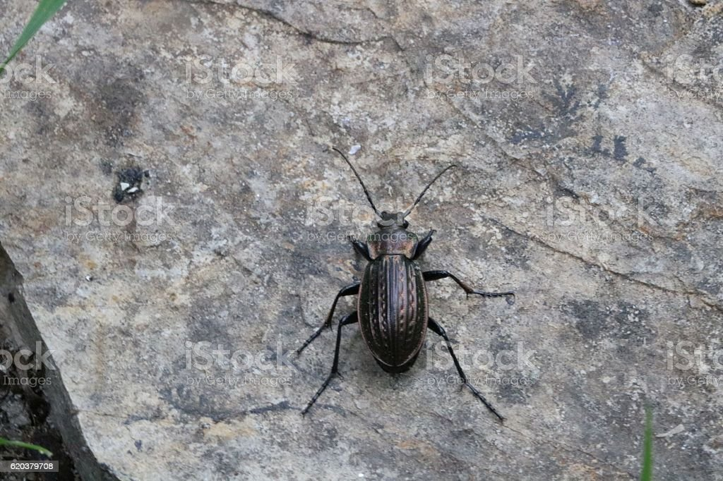 Beautiful bronze bug or insect foto de stock royalty-free