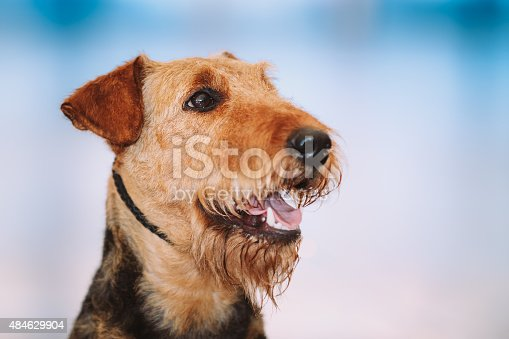 istock Beautiful Brown Airedale Terriers Dog 484629904