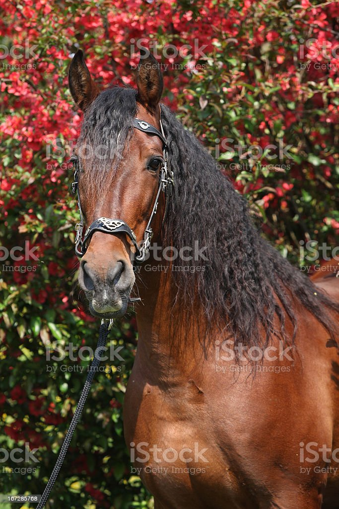 Beautiful brown andalusian stallion in front of red blossoms stock photo