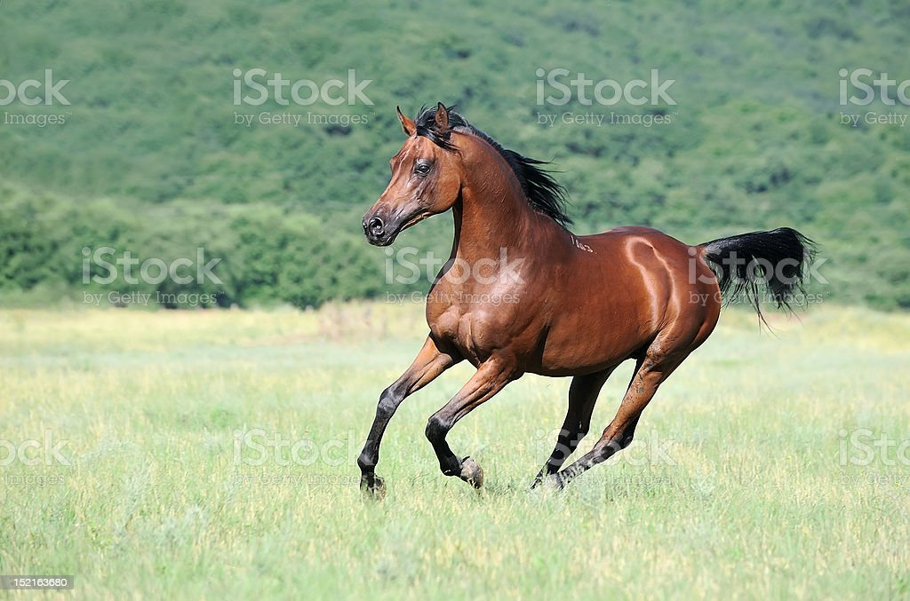 beautiful brown arabian horse running gallop on pasture stock photo