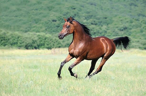 beautiful brown arabian horse running gallop on pasture beautiful brown arabian horse running gallop on pasture arabian horse stock pictures, royalty-free photos & images