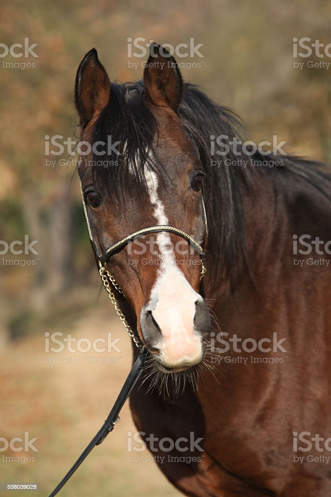 Beautiful Brown Arabian Horse With Show Halter Stock Photo Download Image Now Istock