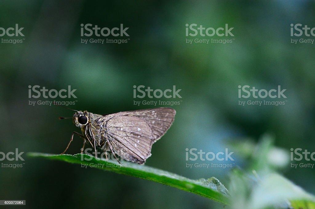 Beautiful brown Butterfly foto de stock royalty-free