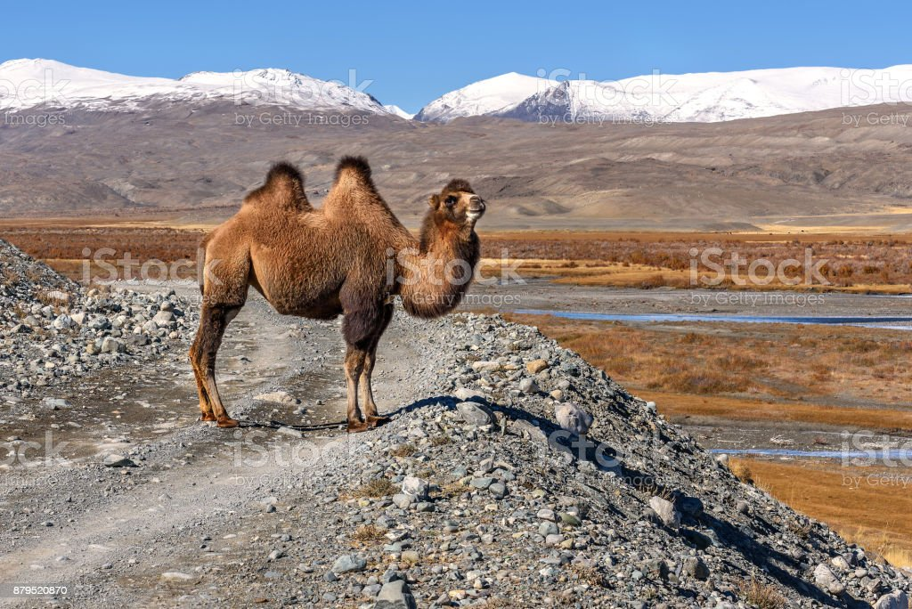 A beautiful brown camel stands on a gravel road against a background of snow-capped mountains in autumn stock photo