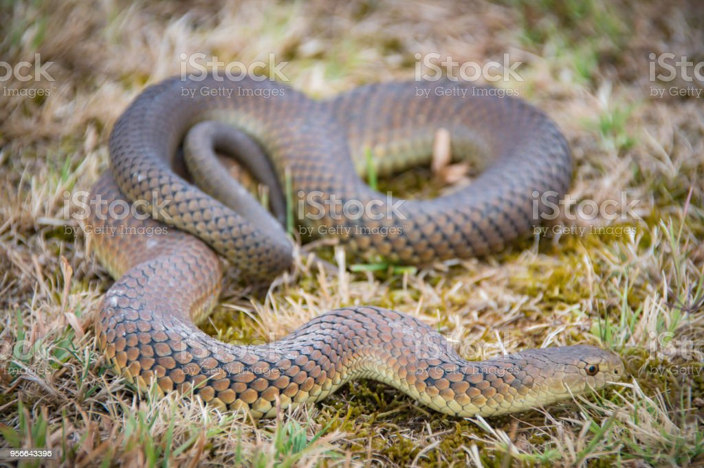Beautiful brown coloured snake stock photo