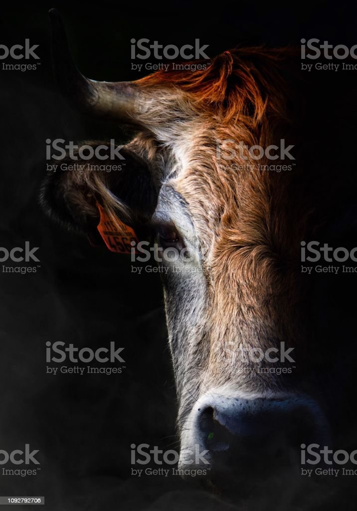 beautiful brown cow portrait in the nature