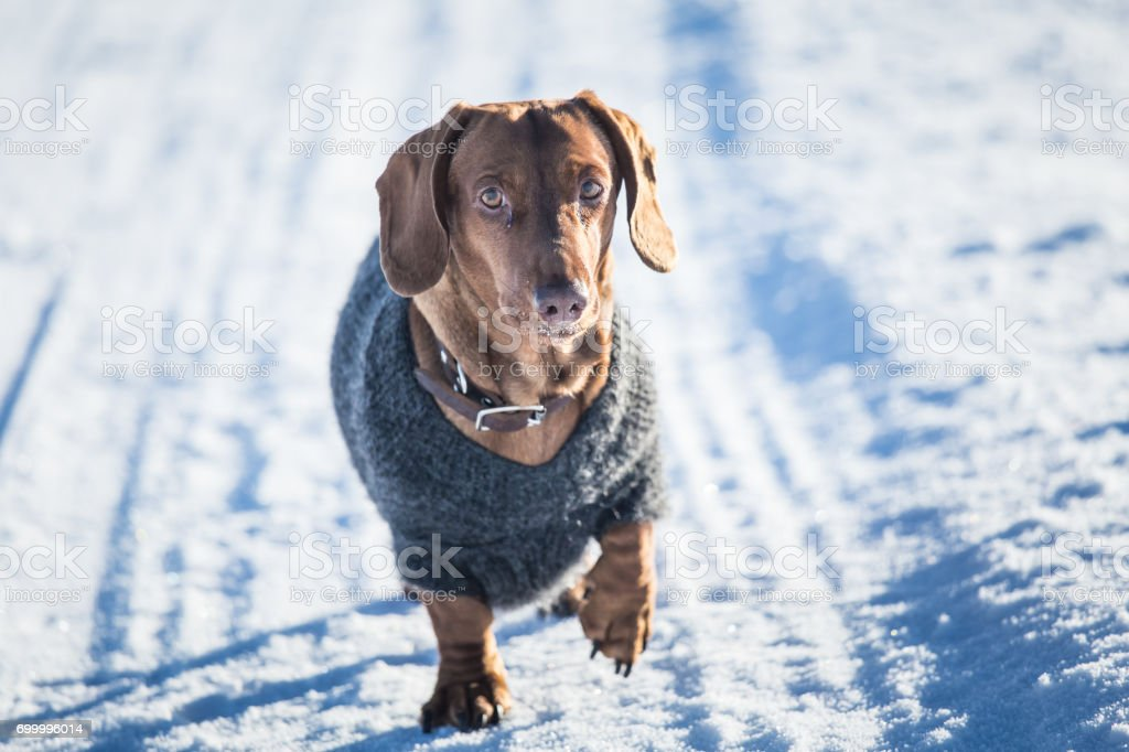 A Beautiful Brown Dachshund Dog With A Knitted Sweater In ...