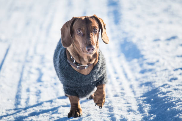 A beautiful brown dachshund dog with a knitted sweater in Norwegian winter scenery stock photo